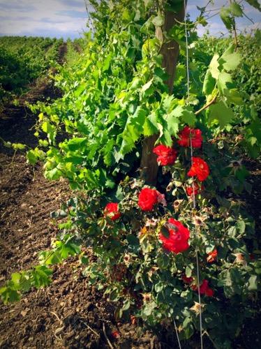 ブドウ畑では、ローズがブドウの害虫防止の役割を果たしています