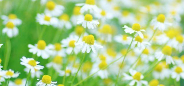 カモマイルウォーターとひまし油目薬 | 花粉症、目の痒み、腫れ、疲れ目、ドライアイ